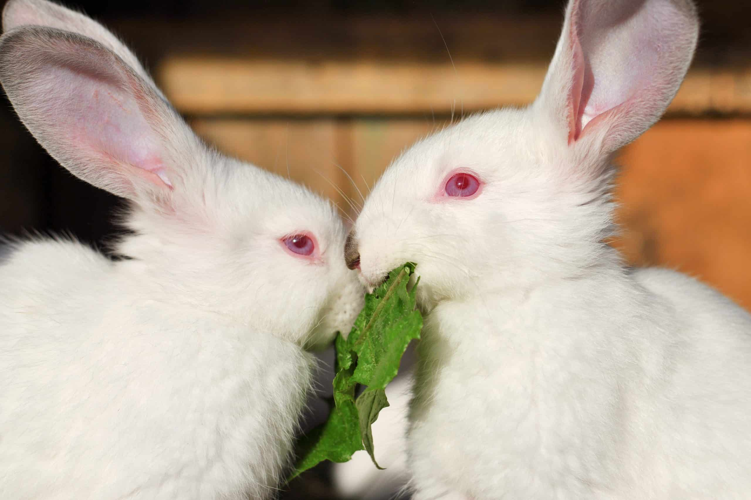 Why Some Rabbits Have Red Eyes   SimplyRabbits   Rabbit care