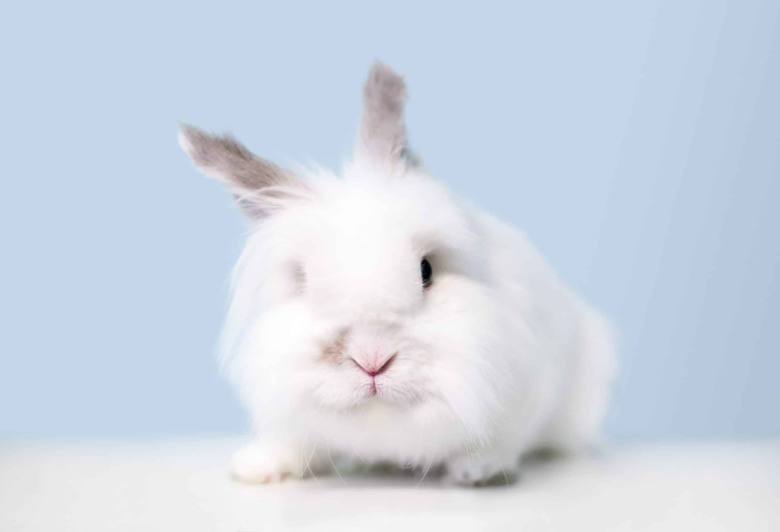 How to Care for Jersey Wooly Rabbits - SimplyRabbits - Rabbit care